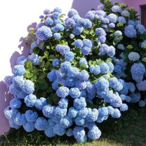 Nantucket Blue Hydrangea Overview