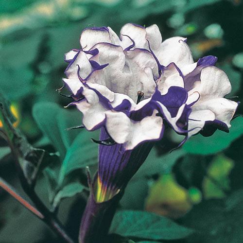 Purple Petticoats Angel Trumpet Plant