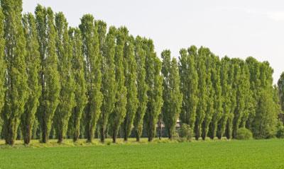 Lombardy Poplar Tree