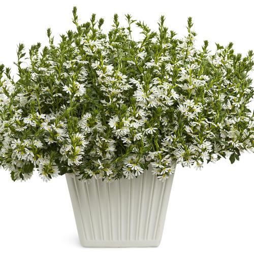 Whirlwind White - Fan Flower - Scaevola aemula