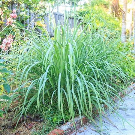 Lemon Grass Plant (Cymbopogon citratus)