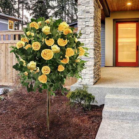 Julia Child Rose Tree