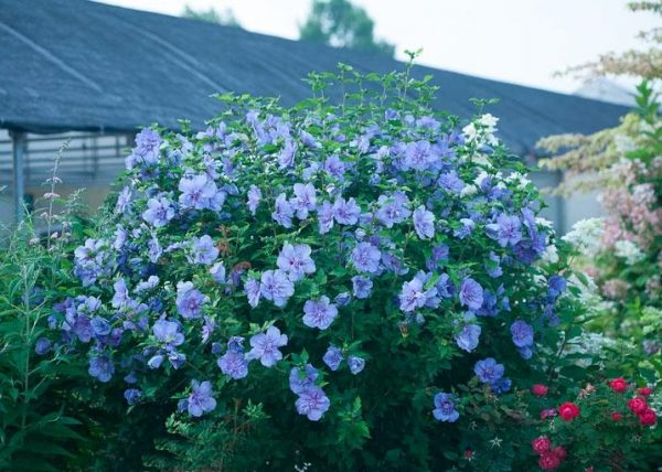Blue Chiffonu2122 Rose of Sharon