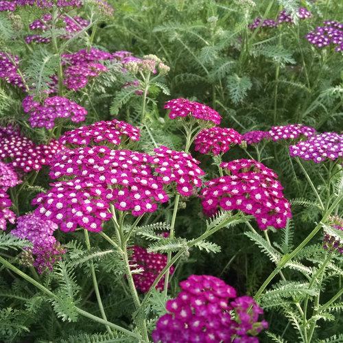New Vintage Violet - Yarrow - Achillea millefolium