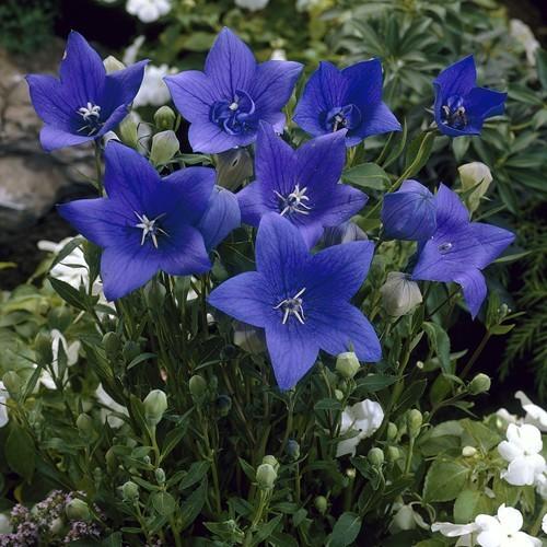 Platycodon Astra blue 12cm