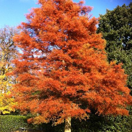 Amberglow™ Redwood Tree