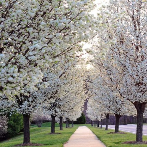 Chanticleer Flowering Pear Overview