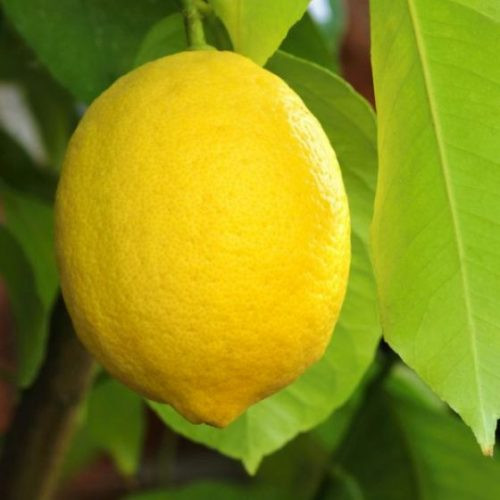 Santa Teresa Lemon Overview