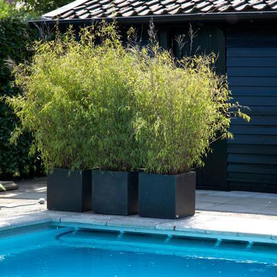 Golden Bamboo Plant