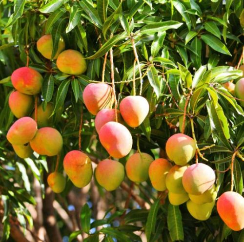 Haden Mango Tree