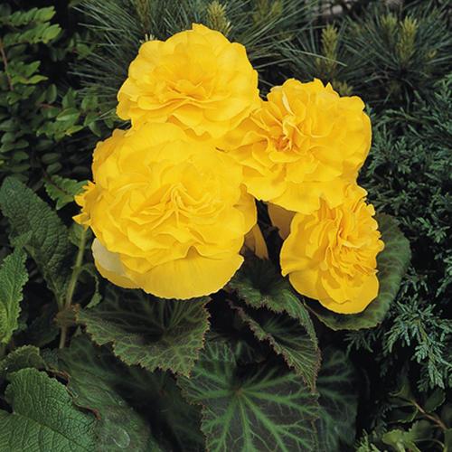Nonstop Yellow - Tuberous Begonia - Begonia x tuberhybrida