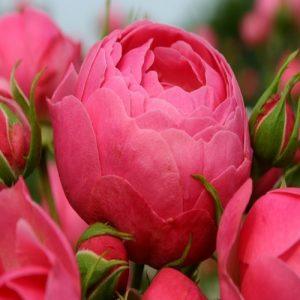 Kordes Floribunda rose Pomponella
