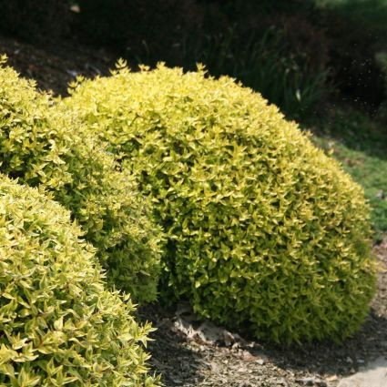 Twist of Lime Abelia Overview