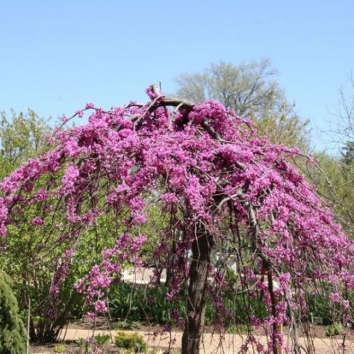 Lavender Twist Weeping Redbud Overview