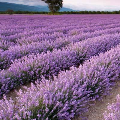 Phenomenal Lavender Plant
