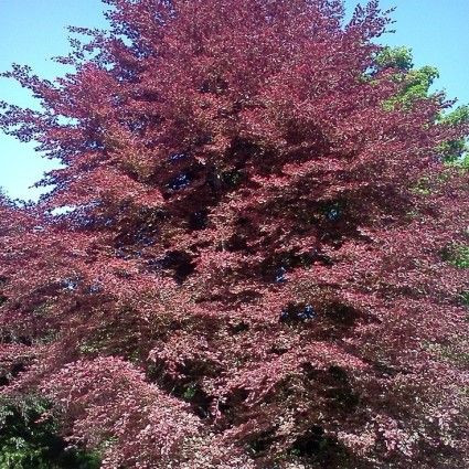 Tricolor European Beech Tree overview