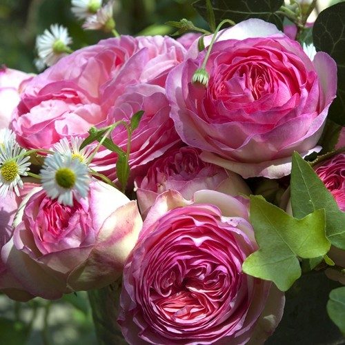 Meilland Hybrid Tea Eden rose