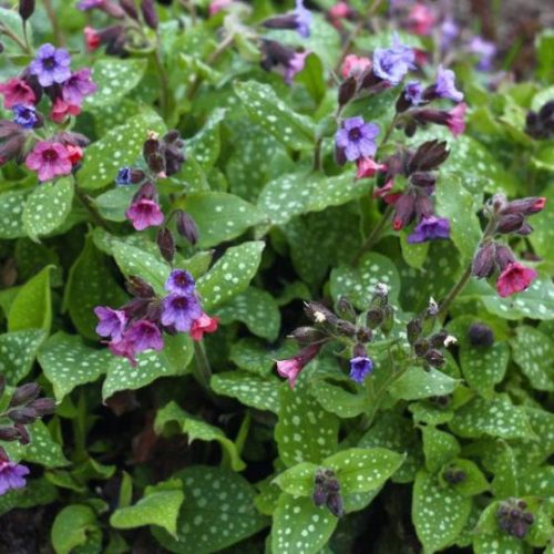 Mrs. Moon Lungwort Overview