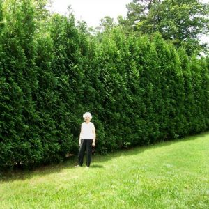 Full Speed A Hedge® American Pillar Arborvitae
