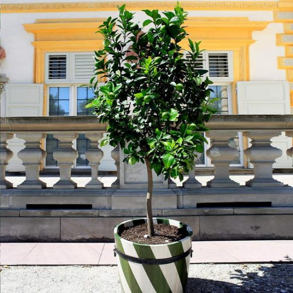 Persian 'Bearss' Lime Tree