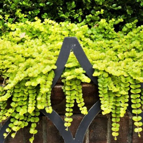 Golden Creeping Jenny Overview