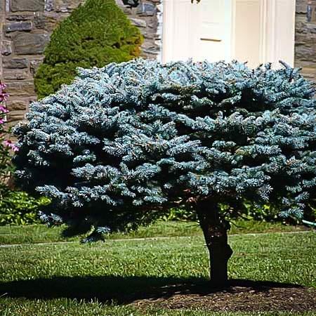 Globe Blue Spruce Shrub