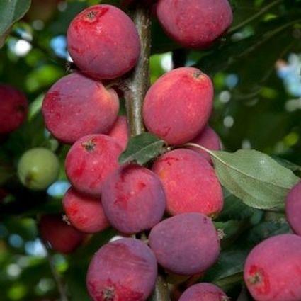 Dolgo Crabapple Tree Fruit