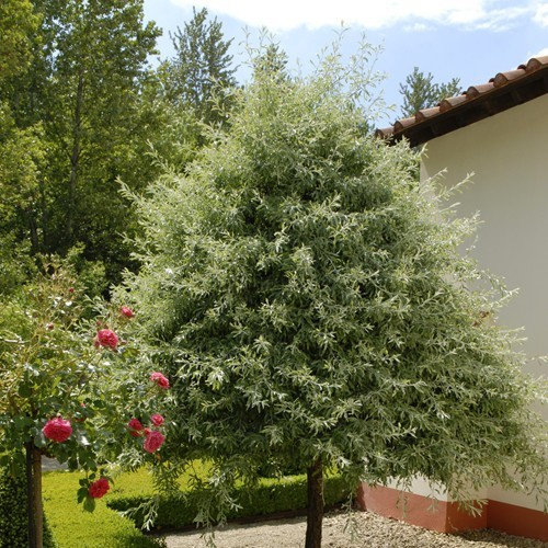 Ornamental Pear Pyrus salicifolia
