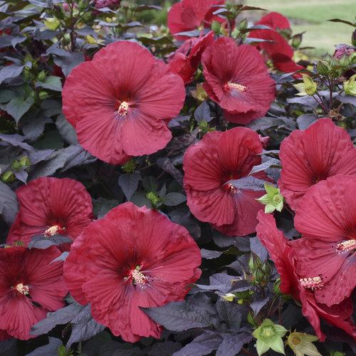 Summerific 'Holy Grail' - Rose Mallow - Hibiscus hybrid