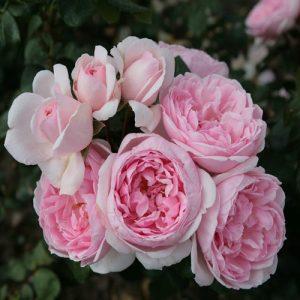 Kordes Floribunda rose Cinderella