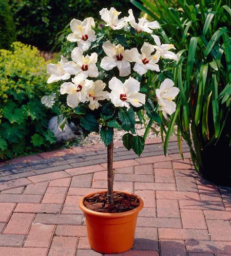 White Tropical Hibiscus Tree
