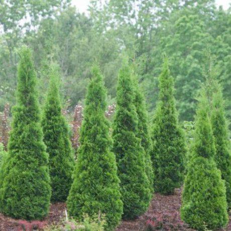 North Pole Arborvitae Multiple Trees