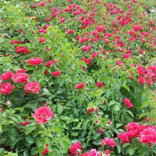 Flower Carpet Red Rose