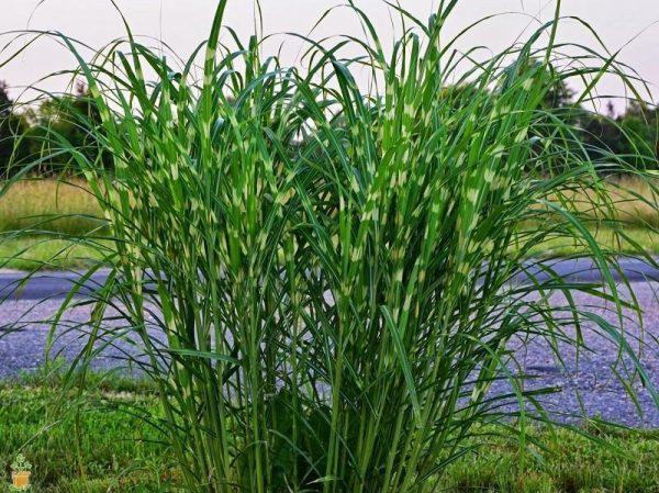 Porcupine Miscanthus Maiden Grass