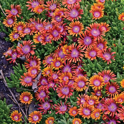 FIRE SPINNER - Hardy Ice Plant - Delosperma hybrida