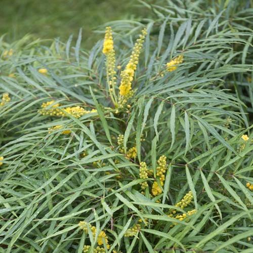Mahonia soft caress 9 cm pot