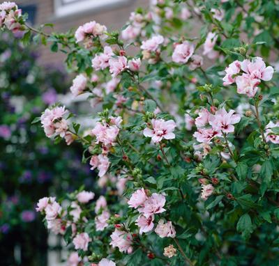 Pink Rose of Sharon Althea Shrub