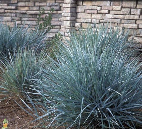Blue Dune Lyme Grass