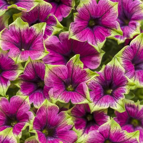 Supertunia Picasso in Purple - Petunia hybrid