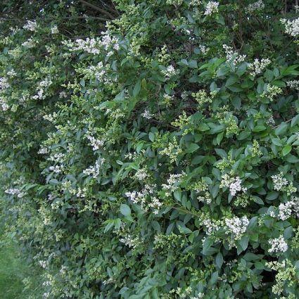 California Privet Hedge blooms