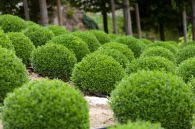 Green Velvet Boxwood Shrub