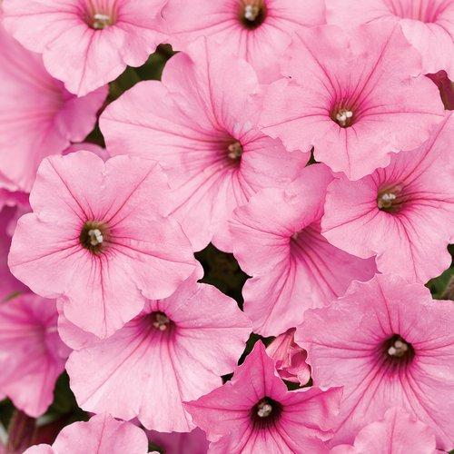 Supertunia Vista Bubblegum - Petunia hybrid