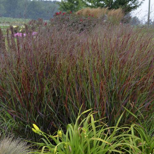 Prairie Winds 'Cheyenne Sky' - Red Switch Grass - Panicum virgatum