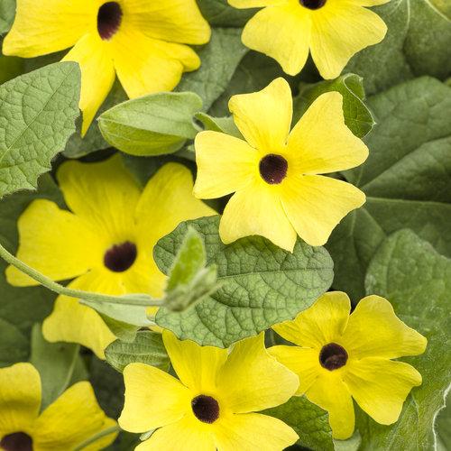 Lemon A-Peel - Black-Eyed Susan Vine - Thunbergia alata