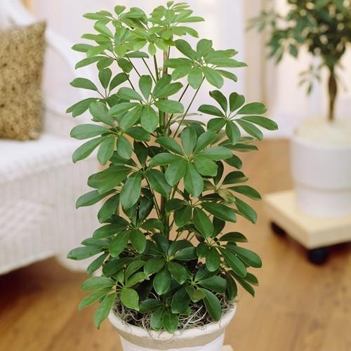 Schefflera arboricola Nora 13 cm