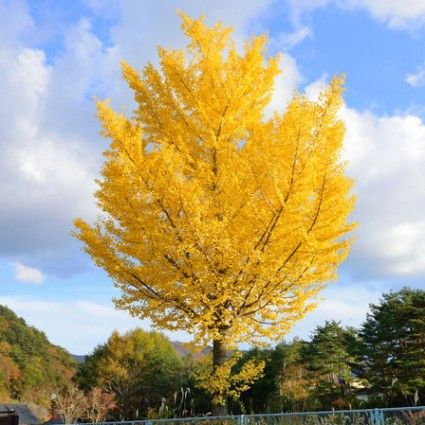 Autumn Gold Ginkgo Overview