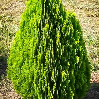 Berckmans Golden Arborvitae