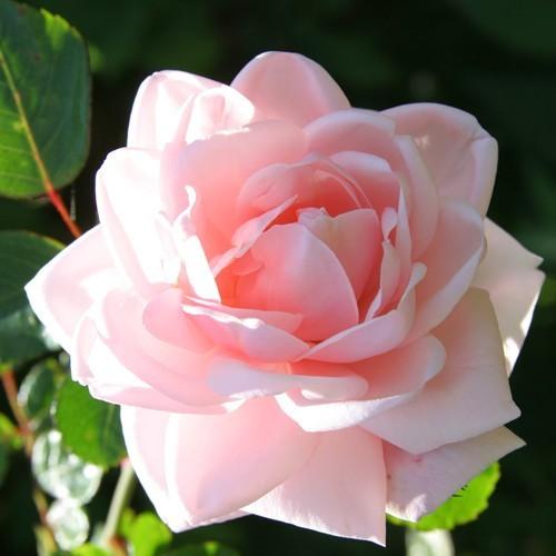 Climbing Rose New Dawn
