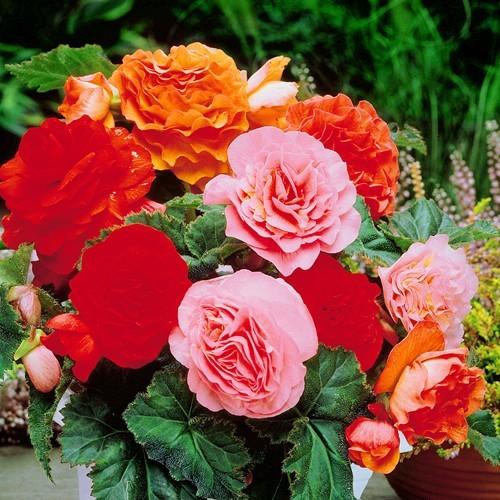 Begonia Double Flowering Mix