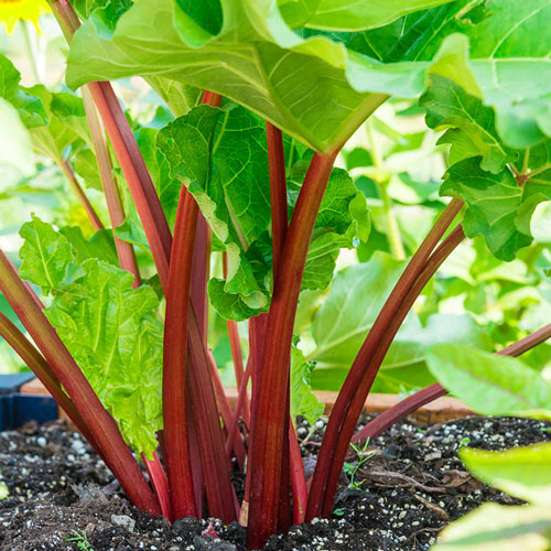 Crimson Red Rhubarb Plant